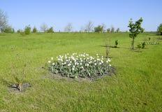 Ένα κρεβάτι λουλουδιών με τις άσπρες τουλίπες Άσπρες τουλίπες, βολβοειδείς εγκαταστάσεις λευκό λουλουδιών Στοκ Εικόνες