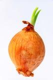 Ένα κρεμμύδι Στοκ εικόνες με δικαίωμα ελεύθερης χρήσης