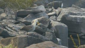 Ένα κυματισμένο άλμπατρος τρέπεται σε φυγή στο espanola isla galapagos φιλμ μικρού μήκους