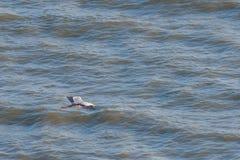 Ένα κυνήγι ερωδιών στη θάλασσα Γκρίζος ερωδιός στο κυνήγι Στοκ φωτογραφία με δικαίωμα ελεύθερης χρήσης
