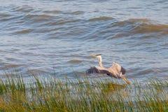 Ένα κυνήγι ερωδιών στη θάλασσα Γκρίζος ερωδιός στο κυνήγι Στοκ Φωτογραφία