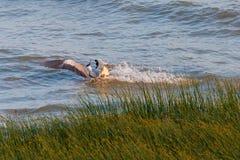 Ένα κυνήγι ερωδιών στη θάλασσα Προσγείωση του γκρίζου ερωδιού Στοκ εικόνα με δικαίωμα ελεύθερης χρήσης