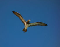 Ένα κυνήγι πουλιών γκαφατζών για τα ψάρια στις Καραϊβικές Θάλασσες Στοκ φωτογραφία με δικαίωμα ελεύθερης χρήσης