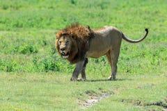 Ένα κυρίαρχο αρσενικό αφρικανικό λιοντάρι από την υπερηφάνεια Ngorongoro Στοκ Φωτογραφία