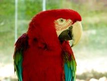 Ένα κόκκινος-και-πράσινο Macaw Στοκ εικόνα με δικαίωμα ελεύθερης χρήσης