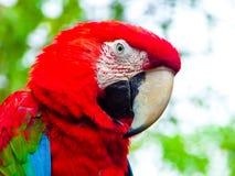 Ένα κόκκινος-και-πράσινο Macaw Στοκ Εικόνες