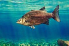 Ένα κόκκινο κίτρινο μεγάλο ψάρι στο μπλε νερό, ζωηρόχρωμος υποβρύχιος κόσμος Στοκ εικόνες με δικαίωμα ελεύθερης χρήσης