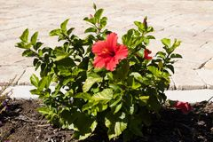 Ένα κόκκινο λουλούδι μέσα σε έναν πράσινο θάμνο Στοκ Φωτογραφίες