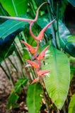 Ένα κόκκινο λουλούδι Heliconia στον κήπο Στοκ Εικόνα