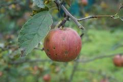 Ένα κόκκινο με ένα σκοτεινά μήλο & x27 φρούτων σημείων Slava pobediteljam& x27  στο α Στοκ εικόνες με δικαίωμα ελεύθερης χρήσης