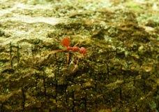 Ένα κόκκινο μυρμήγκι που περπατά στον κλάδο δέντρων στο μαλακό φως του ήλιου απογεύματος, υπόβαθρο Στοκ Φωτογραφία