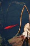 Ένα κόκκινο ο κυπρίνος Στοκ Φωτογραφία
