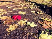 Ένα κόκκινο φύλλο πτώσης Στοκ Εικόνες