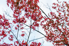 Ένα κόκκινο φύλλο σφενδάμου, Κιότο, Ιαπωνία στοκ εικόνες