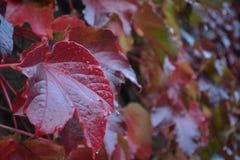 Ένα κόκκινο φύλλο Στοκ εικόνες με δικαίωμα ελεύθερης χρήσης