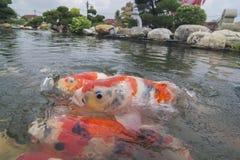 Ένα κόκκινο ψάρι koi κολυμπά στην επιφάνεια του νερού στοκ φωτογραφία με δικαίωμα ελεύθερης χρήσης