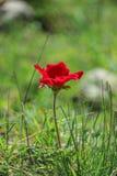 Ένα κόκκινο anemone λουλουδιών άνθισης άνοιξη μεταξύ των πετρών Στοκ φωτογραφία με δικαίωμα ελεύθερης χρήσης