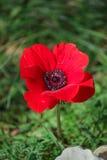Ένα κόκκινο anemone λουλουδιών άνθισης άνοιξη μεταξύ των πετρών Στοκ Εικόνες