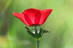 Ένα κόκκινο anemone λουλουδιών άνθισης άνοιξη Στοκ φωτογραφία με δικαίωμα ελεύθερης χρήσης
