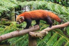 Ένα κόκκινο panda που περιπλανάται πέρα από τους κλάδους στην περίφραξή του στοκ εικόνες με δικαίωμα ελεύθερης χρήσης