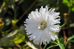 Ένα λεπτό λουλούδι 1 μακρο λευκό αστέρων Στοκ εικόνα με δικαίωμα ελεύθερης χρήσης