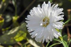 Ένα λεπτό λουλούδι 1 μακρο λευκό αστέρων Στοκ εικόνες με δικαίωμα ελεύθερης χρήσης