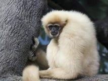 Ένα λευκό που δίνεται Gibbon, εφέστιος θεός Hylobates, σε έναν κλάδο Στοκ Εικόνες