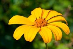 Ένα λουλούδι με τα κίτρινα πέταλα βλαστάησε την κινηματογράφηση σε πρώτο πλάνο σε ένα πράσινο κλίμα στοκ εικόνα