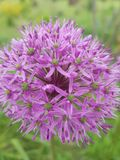 Ένα λουλούδι που μοιάζει με τα πυροτεχνήματα με μορφή του στοκ φωτογραφίες