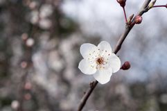 Ένα λουλούδι του δέντρου κερασιών bloodsuckers στοκ φωτογραφία με δικαίωμα ελεύθερης χρήσης