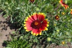 Ένα λουλούδι του aristata Gaillardia Στοκ Εικόνες