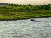 Ένα λούσιμο ρινοκέρων σε Chitwan, Νεπάλ στοκ φωτογραφία