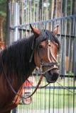 Ένα λυπημένο άλογο από το πάρκο - αυτό ` s που δένεται και που κουράζεται Στοκ εικόνες με δικαίωμα ελεύθερης χρήσης