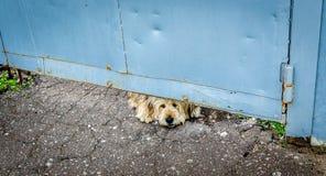 Ένα λυπημένο σκυλί κοιτάγματος που κοιτάζει κάτω από μια πύλη στοκ φωτογραφία με δικαίωμα ελεύθερης χρήσης