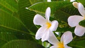 Ένα μήκος σε πόδηα της βροχής μέσω του καλού άσπρου λουλουδιού Plumeria σε έναν βοτανικό κήπο απόθεμα βίντεο