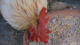 Ένα μήκος σε πόδηα του αρσενικού μικρόσωμου κοτόπουλου που τρώει το ρύζι ορυζώνα στενό σε επάνω απόθεμα βίντεο