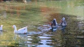 Ένα μήκος σε πόδηα των χήνων που κολυμπούν σε μια λίμνη νερού σε έναν βοτανικό κήπο, Σίδνεϊ, Αυστραλία απόθεμα βίντεο