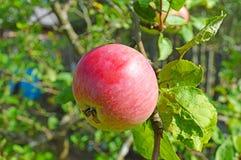 Ένα μήλο σε ένα δέντρο  στοκ φωτογραφίες με δικαίωμα ελεύθερης χρήσης