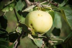 Ένα μήλο Στοκ εικόνα με δικαίωμα ελεύθερης χρήσης