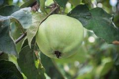 Ένα μήλο Στοκ Εικόνα