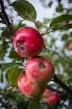 Ένα μήλο Στοκ Φωτογραφίες
