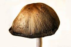 Ένα μανιτάρι ή ένα toadstool Στοκ εικόνα με δικαίωμα ελεύθερης χρήσης
