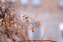 Ένα μαραμένο λουλούδι λυκίσκου σε ένα θολωμένο υπόβαθρο Περίβολος λουλουδιών λυκίσκου Στοκ Φωτογραφίες