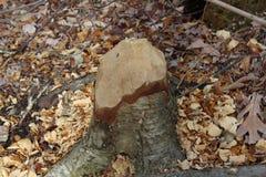 Ένα μασημένο κάστορας κολόβωμα δέντρων στοκ εικόνες