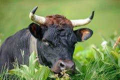 Ένα μαύρο κεφάλι αγελάδων με τα κέρατα Στοκ Εικόνα