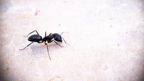 Ένα μαύρο μυρμήγκι πλάγιας όψης ξυλουργών που κινείται γύρω από την απομονωμένη μακρο φωτογραφία - αριστερή πλευρά της φωτογραφία στοκ φωτογραφίες