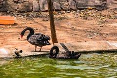 Ένα μαύρο παιχνίδι κύκνων ζευγών στο νερό στο ζωολογικό κήπο Στοκ Φωτογραφίες