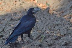 Ένα μαύρο πουλί κρατά τα τρόφιμά του στο ράμφος του Στοκ φωτογραφίες με δικαίωμα ελεύθερης χρήσης