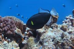Ένα μαύρο angelfish Στοκ Φωτογραφίες