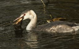 Ένα μεγάλος-λοφιοφόρο cristatus Grebe Podiceps που τρώει ένα ψάρι σε έναν ποταμό Στοκ Φωτογραφίες